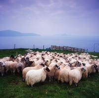 Herding Sheep, Inishtooskert, Blasket Islands, Co