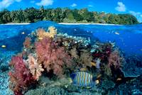 Fiji, Reef With Angelfish