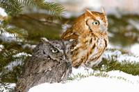 Two Screech Owls