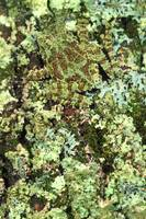 Camouflaged Vietnamese Mossy Tree Frog