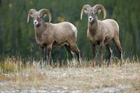 Bighorn Sheep, Windy Point, Kootenay Plains, Alber