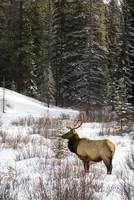 Elk In Winter Forest, Banff National Park, Alberta