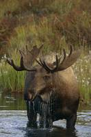 Bull Moose In Pond, Denali National Park, Alaska