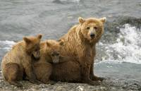 Mother Grizzly With Cubs By River, Southwest Alask