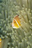 Micronesia, Orange-Fin Anemonefish  And Sea Anemon