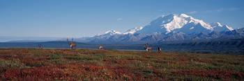 Caribou On Tundra With Mt McKinley, Denali Nationa