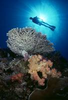 Palau, Diver With Alcyonarian And Table Coral
