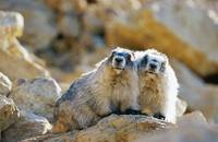Hoary Marmot Pair Sitting On Rock, Denali National