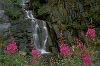 Fireweed in Bloom near Waterfall Turnagain Pass AK