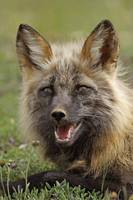 A Cross Fox Laying In The Grass At Denali National