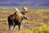 Bull Moose Walking On Tundra, Denali National Park