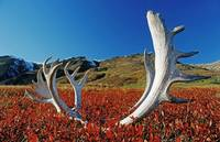 Caribou Antlers Laying On Autumn Tundra, Denali Na
