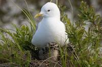 Close Up View Of A Glaucous Gull Nesting With Her