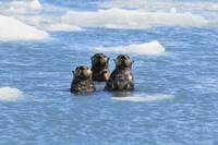 Sea Otters Swim In An Ice Floe At Yale Glacier In
