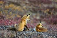 Two Red Foxes playing on tundra in Denali National