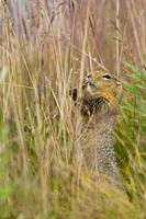 An Arctic Ground Squirrel Feasts On Grass Seeds, D