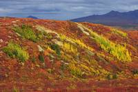Colorful scenic of tundra in Autumn in Denali Nati