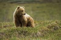 Adult Brown Bear Standing On Tundra In Denali Nati