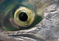 Macro Of The Eye Of An Sockeye Salmon, Southwest A
