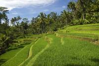Indonesia, Bali, Rice Terraces