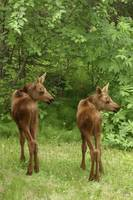 Twin Moose Calves In Backyard Alaska, Anchorage