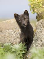 Adult Arctic Fox guarding the den summer St. Paul