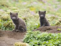 Two Arctic Fox kits sitting near their den St. Pau