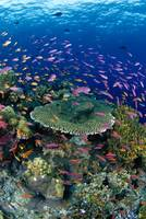 Fiji, Hard Coral Reef Scene With School Lyretail A