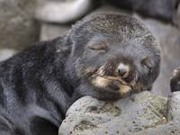 Close up portrait of a sleeping Northern Fur Seal