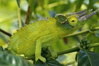 Jackson chameleon hides in the coffee trees, Holua