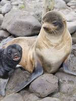 Portrait of a Northern Fur Seal female with her pu