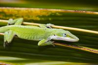 Hawaii, Green Anole Lizard
