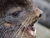 Close up portrait of bull Northern Fur Seal St. Pa