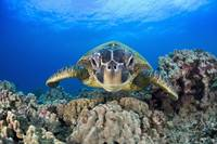 Hawaii, Maui, A Wide Angle Of A Green Sea Turtle
