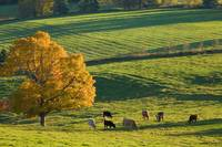 Beef Cattle Grazing In Autumn, North Wiltshire, Pr