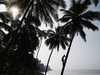 Silhouetted Man Climbing A Palm Tree To Pick Cocon