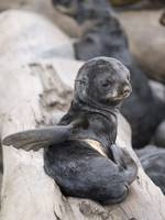 Northern Fur Seal pup scratching St. Paul Island S