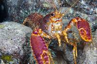 Hawaii, Maui, Molokini, Western Lobster