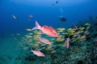 Hawaii, Maui, Whitesaddle Goatfish And Bluestriped