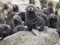 Portrait of a Northern Fur Seal pup St. Paul Islan
