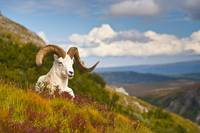 Dall Sheep Ram On A Hillside On Fall Tundra, Denal
