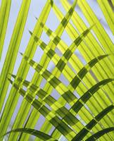Palm Leaves, Close Up Sri Lanaka, Asia
