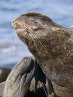 Northern Fur Seal bull grooms himself while sunbat