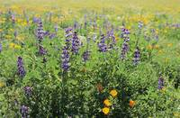 California, Beautiful Meadow Of Lupine And Califor