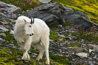 Young Mountain Goat Billy Is Grazing On Plants, Al