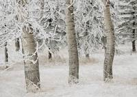 White Aspens In Winter, Calgary, Alberta, Canada