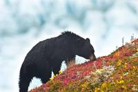 Black Bear Feeding On Berries On A Hill Side Near