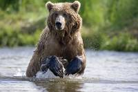 Grizzly chasing salmon in river during Summer mont
