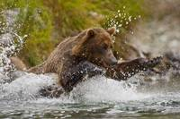 Coastal Brown Bear Fishing At Kinak Bay, Katmai Na