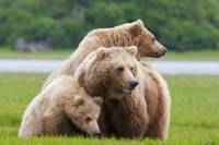 Coastal Brown Bear With Her Two Cubs At Hallo Bay,
